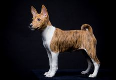 Little Basenji puppy on the black background Stock Photos
