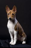 Little Basenji puppy on the black background Royalty Free Stock Image