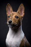 Little Basenji puppy on the black background Stock Images