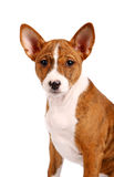 Little Basenji puppy, brindle colour Stock Images