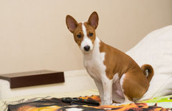 Little Basenji puppy having rest Royalty Free Stock Images