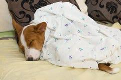 Little Basenji puppy slleping Stock Image