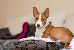 Little Basenji puppy having rest on a pillow Stock Photos