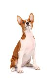 Little Basenji puppy on white Stock Photos
