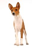 Little Basenji puppy on white Stock Image