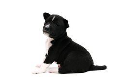 Little Basenji puppy on white Royalty Free Stock Images