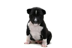 Little Basenji puppy on white Stock Photography