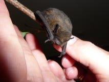 Pipistrella the dwarf bat stock photo