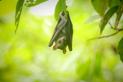 A little bat Stock Images
