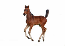 A little bay foal galloping Stock Image