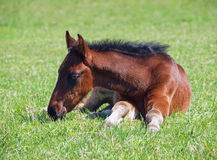 A little bay foal lies on a grass Royalty Free Stock Photography