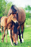 Little bay foal with mom in the meadow. Royalty Free Stock Photo