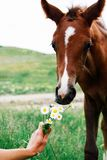 Little bay foal sniffs a bouquet of daisies that is held by a female hand stock images