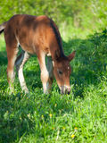 Little  bay Hanoverian foal Royalty Free Stock Photo