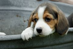 A little Beagle puppy looking arround royalty free stock image