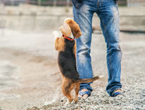 Little beagle puppy ask to play with him Royalty Free Stock Image