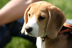 Little beagle puppy First Hunting Royalty Free Stock Photos