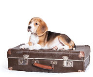 Little beagle puppy on the old suitcase Stock Photos