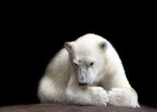 Little bear. Moscow zoo. Little white bear royalty free stock images