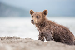 Little bear cub is on the lake Stock Images