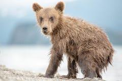 Little bear cub is on the lake Stock Photos