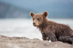Little bear cub is on the lake Stock Photography