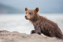 Little bear cub is on the lake Royalty Free Stock Photography