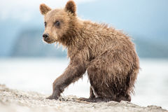 Little bear cub is on the lake Royalty Free Stock Image