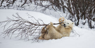 Little Bear plays with a branch in the tundra. Canada. Royalty Free Stock Image