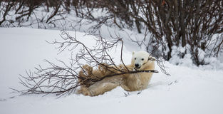 Little Bear plays with a branch in the tundra. Canada. Royalty Free Stock Photos