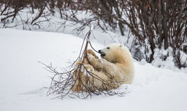Little Bear plays with a branch in the tundra. Canada. Stock Photography