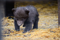 Little bear. Small bear cub learns to walk Stock Photography