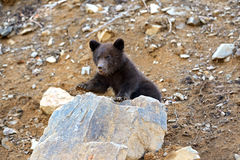 Little Bear Stock Image