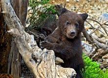 Little Bear Stock Photography