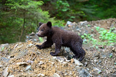 Little Bear Royalty Free Stock Photo