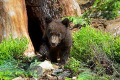 Little Bear Stock Photography