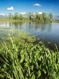 Little Bearskin Lake Wisconsin. Emergent aquatic vegetation along Little Bearskin Lake of northwoods Wisconsin royalty free stock photo