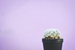 Little beautiful cactus  purple background Stock Images