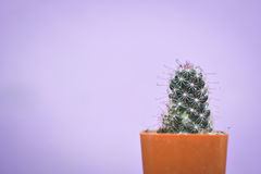 Little beautiful cactus  purple background Stock Photo