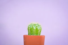 Little beautiful cactus  purple background Royalty Free Stock Image