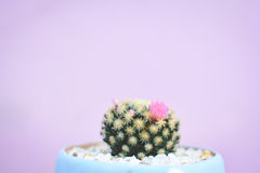 Little beautiful cactus  purple background Royalty Free Stock Photos