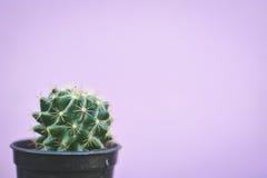Little beautiful cactus  purple background Royalty Free Stock Image