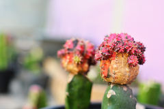 Little beautiful cactus  purple background Royalty Free Stock Images