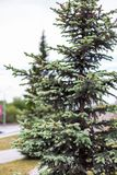 Little beautiful Christmas tree in a park in Novosibirsk, Russia royalty free stock photos