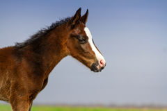 Little beautiful colt portrait Stock Photo
