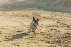 Little beautiful funny dog Jack Russell Parson Terrier enthusiastically and cheerfully plays on the sea beach. Charming royalty free stock photo