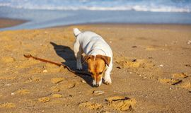 Little beautiful funny dog Jack Russell Parson Terrier enthusiastically and cheerfully plays on the sea beach. Charming stock image