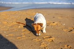 Little beautiful funny dog Jack Russell Parson Terrier enthusiastically and cheerfully plays on the sea beach. Charming stock photography