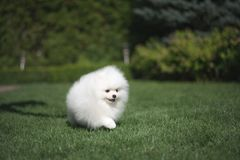 Little beautiful funny white dog German spitz puppy on green grass runs plays and sits. Little beautiful funny white dog German spitz baby face puppy on green stock image