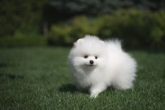 Little beautiful funny white dog German spitz puppy on green grass runs plays and sits. Little beautiful funny white dog German spitz baby face puppy on green royalty free stock photos